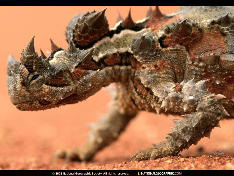 Thorny Devil close-up